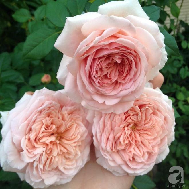 Nữ thạc sỹ nông nghiệp sở hữu các khu vườn hoa hồng với 600 giống hồng nội và ngoại đủ màu sắc - Ảnh 13.