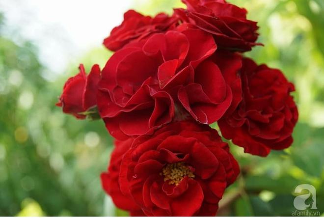 Nữ thạc sỹ nông nghiệp sở hữu các khu vườn hoa hồng với 600 giống hồng nội và ngoại đủ màu sắc - Ảnh 14.