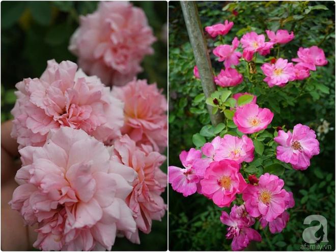 Nữ thạc sỹ nông nghiệp sở hữu các khu vườn hoa hồng với 600 giống hồng nội và ngoại đủ màu sắc - Ảnh 17.