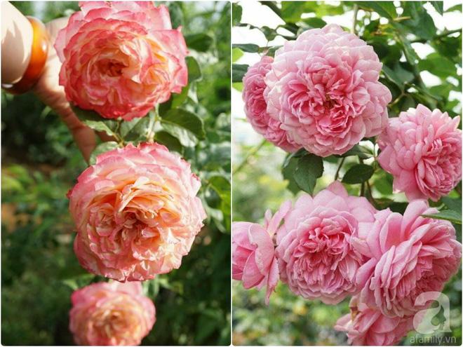 Nữ thạc sỹ nông nghiệp sở hữu các khu vườn hoa hồng với 600 giống hồng nội và ngoại đủ màu sắc - Ảnh 18.