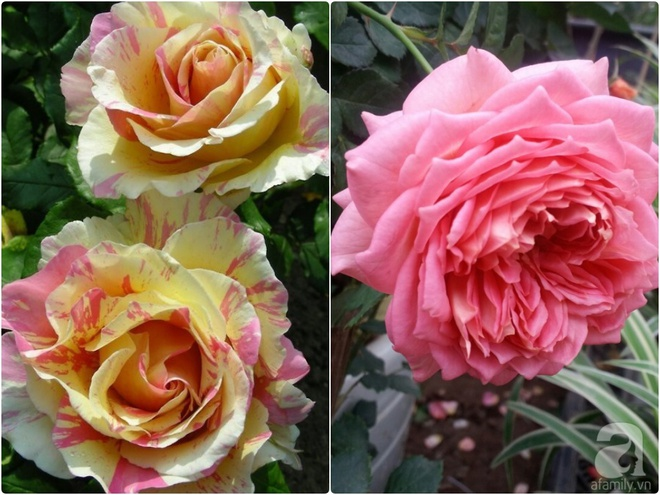 Nữ thạc sỹ nông nghiệp sở hữu các khu vườn hoa hồng với 600 giống hồng nội và ngoại đủ màu sắc - Ảnh 19.