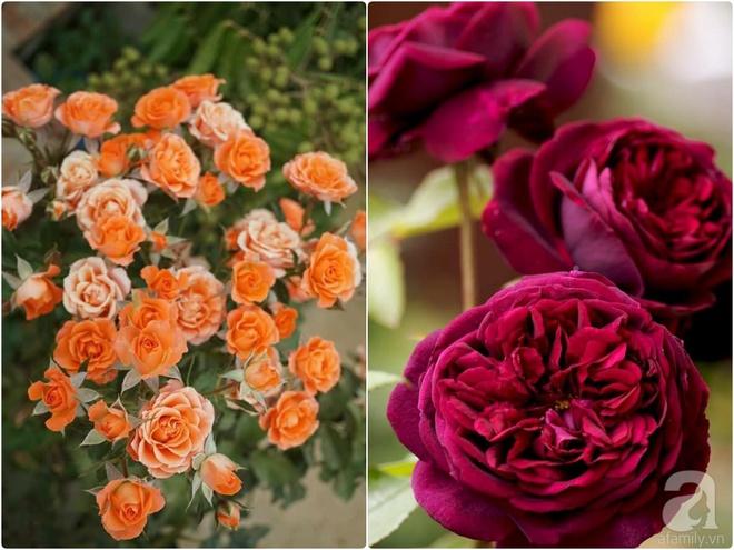 Nữ thạc sỹ nông nghiệp sở hữu các khu vườn hoa hồng với 600 giống hồng nội và ngoại đủ màu sắc - Ảnh 21.