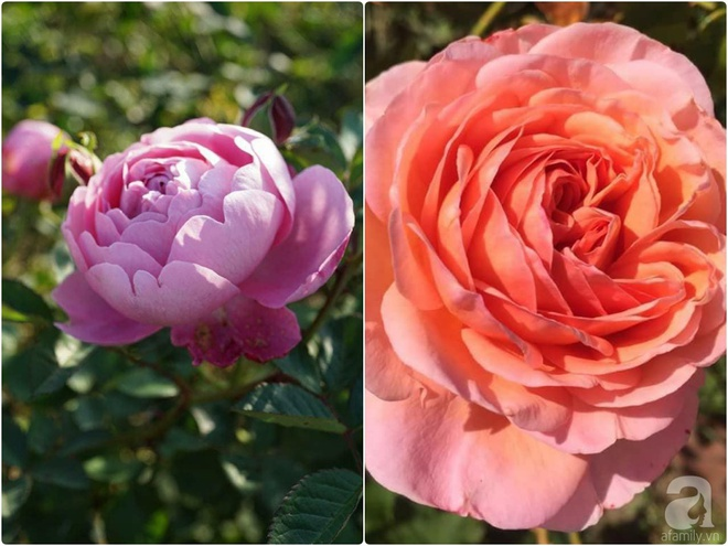 Nữ thạc sỹ nông nghiệp sở hữu các khu vườn hoa hồng với 600 giống hồng nội và ngoại đủ màu sắc - Ảnh 22.