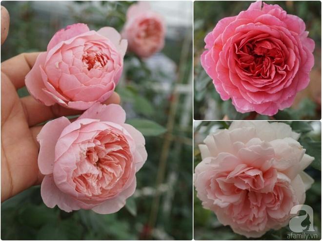 Nữ thạc sỹ nông nghiệp sở hữu các khu vườn hoa hồng với 600 giống hồng nội và ngoại đủ màu sắc - Ảnh 25.