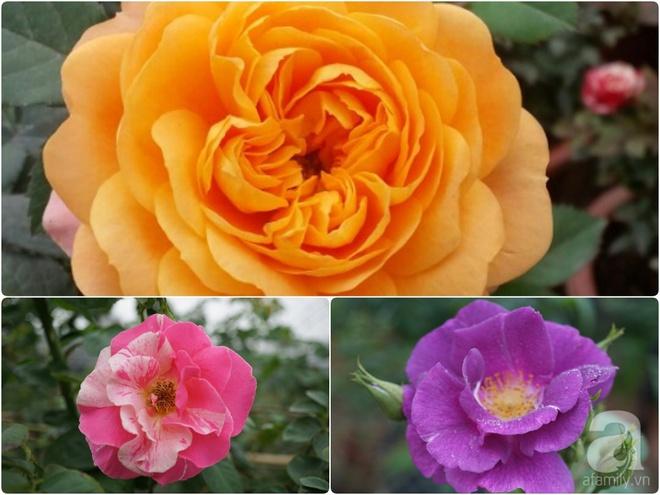 Nữ thạc sỹ nông nghiệp sở hữu các khu vườn hoa hồng với 600 giống hồng nội và ngoại đủ màu sắc - Ảnh 26.