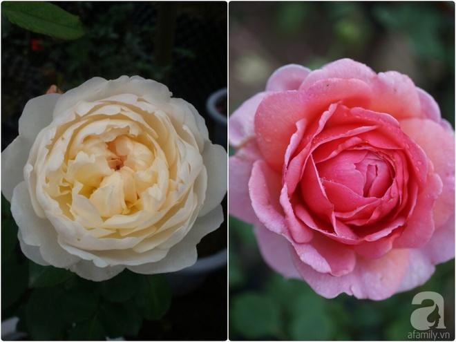 Nữ thạc sỹ nông nghiệp sở hữu các khu vườn hoa hồng với 600 giống hồng nội và ngoại đủ màu sắc - Ảnh 27.