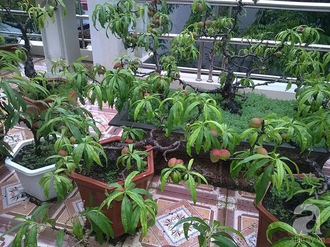 Sân thượng trồng gần trăm gốc đào cổ chi chít quả ở Lạng Sơn - Ảnh 3.