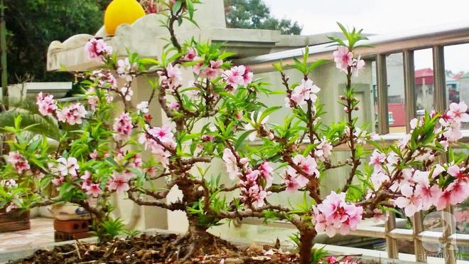Sân thượng trồng gần trăm gốc đào cổ chi chít quả ở Lạng Sơn - Ảnh 4.