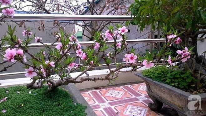Sân thượng trồng gần trăm gốc đào cổ chi chít quả ở Lạng Sơn - Ảnh 5.