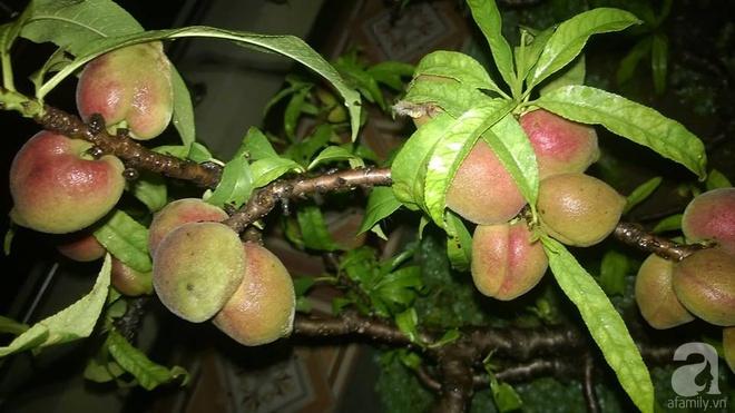 Sân thượng trồng gần trăm gốc đào cổ chi chít quả ở Lạng Sơn - Ảnh 7.