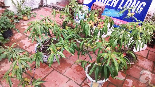 Sân thượng trồng gần trăm gốc đào cổ chi chít quả ở Lạng Sơn - Ảnh 8.