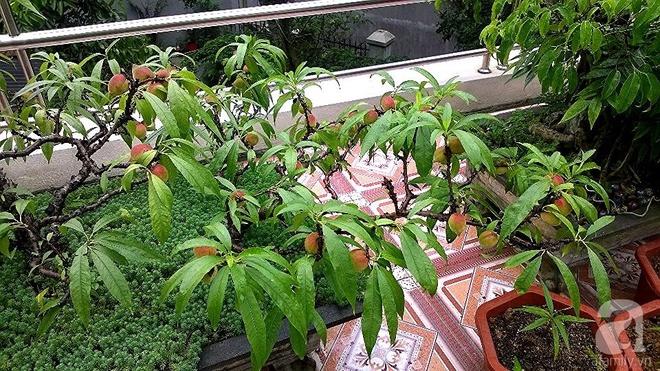 Sân thượng trồng gần trăm gốc đào cổ chi chít quả ở Lạng Sơn - Ảnh 10.
