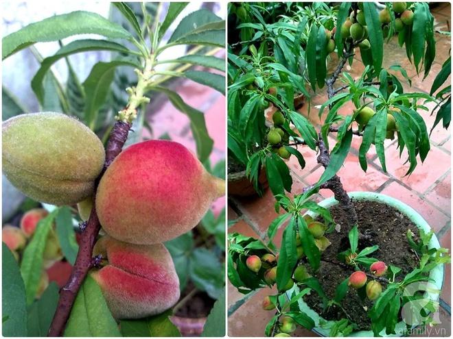 Sân thượng trồng gần trăm gốc đào cổ chi chít quả ở Lạng Sơn - Ảnh 11.