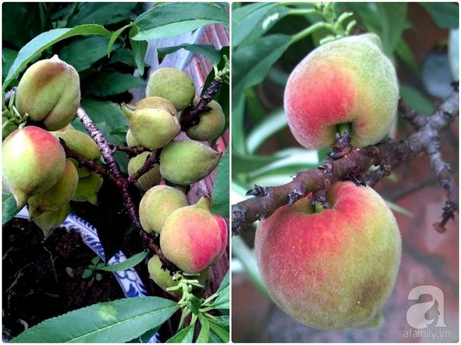 Sân thượng trồng gần trăm gốc đào cổ chi chít quả ở Lạng Sơn - Ảnh 12.