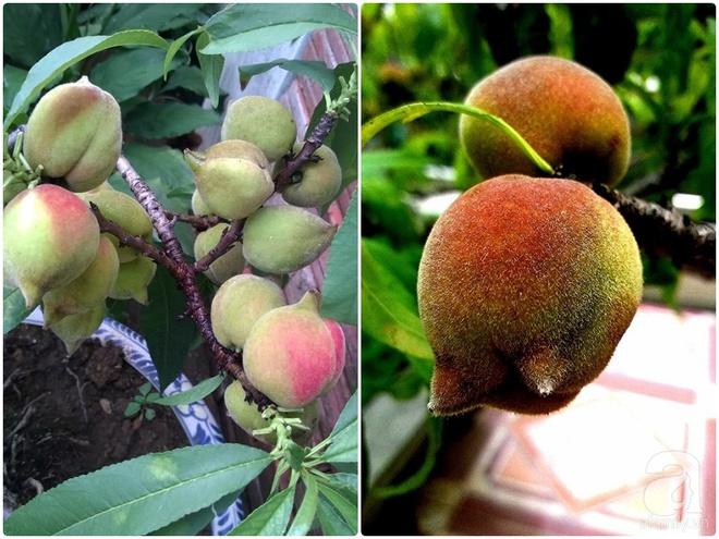 Sân thượng trồng gần trăm gốc đào cổ chi chít quả ở Lạng Sơn - Ảnh 13.
