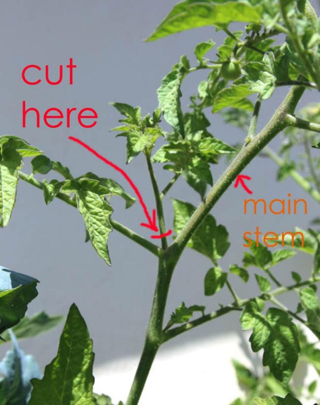 Đây là cách trồng cà chua nhanh nhất mà bạn đã bỏ qua một cách đáng tiếc - Ảnh 2.