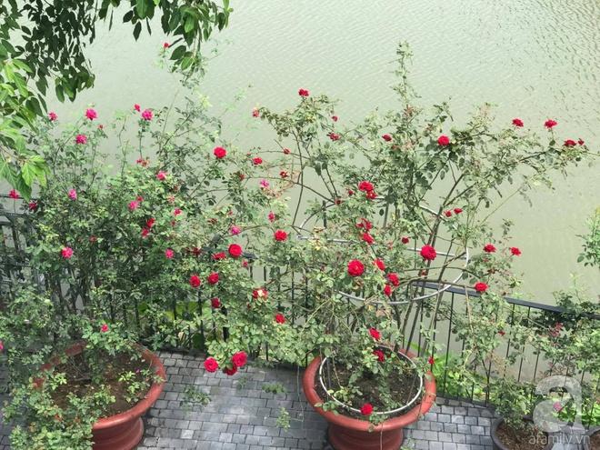 Khu vườn 400m² có những gốc hồng hàng chục năm tuổi đẹp mê hồn ở Hà Nội - Ảnh 2.