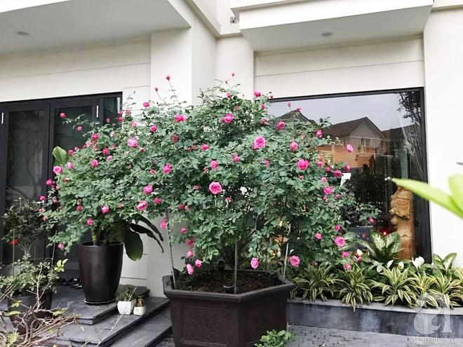 Khu vườn 400m² có những gốc hồng hàng chục năm tuổi đẹp mê hồn ở Hà Nội - Ảnh 3.