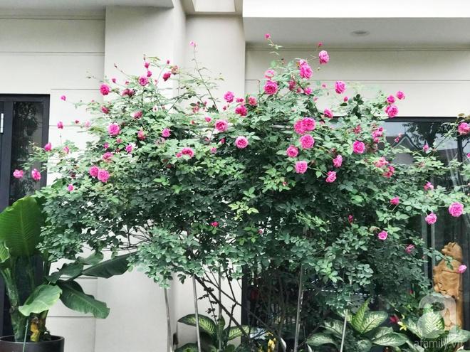 Khu vườn 400m² có những gốc hồng hàng chục năm tuổi đẹp mê hồn ở Hà Nội - Ảnh 4.