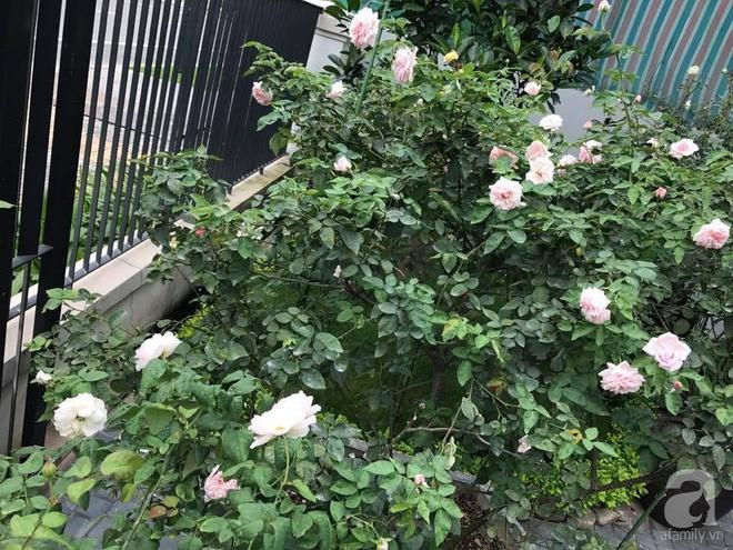 Khu vườn 400m² có những gốc hồng hàng chục năm tuổi đẹp mê hồn ở Hà Nội - Ảnh 5.