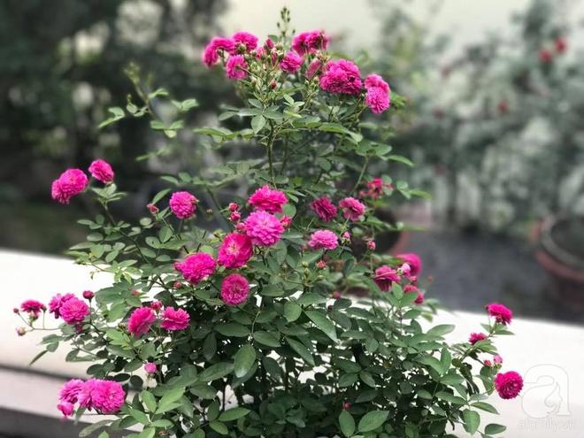 Khu vườn 400m² có những gốc hồng hàng chục năm tuổi đẹp mê hồn ở Hà Nội - Ảnh 6.