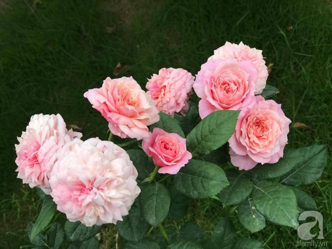 Khu vườn 400m² có những gốc hồng hàng chục năm tuổi đẹp mê hồn ở Hà Nội - Ảnh 9.