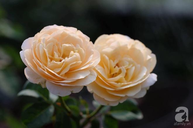 Khu vườn 400m² có những gốc hồng hàng chục năm tuổi đẹp mê hồn ở Hà Nội - Ảnh 10.