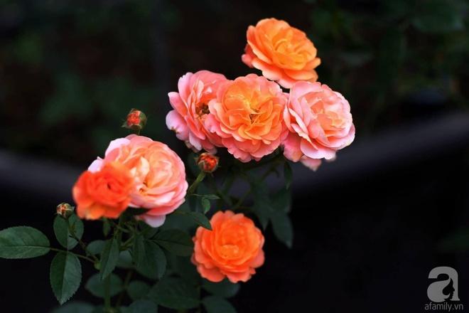 Khu vườn 400m² có những gốc hồng hàng chục năm tuổi đẹp mê hồn ở Hà Nội - Ảnh 11.