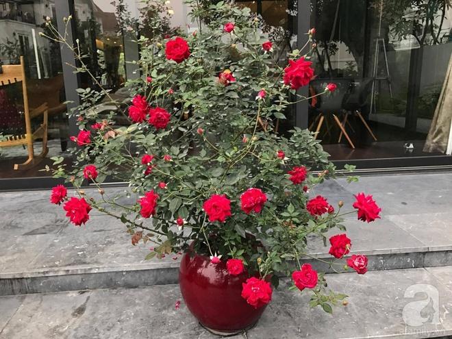 Khu vườn 400m² có những gốc hồng hàng chục năm tuổi đẹp mê hồn ở Hà Nội - Ảnh 12.