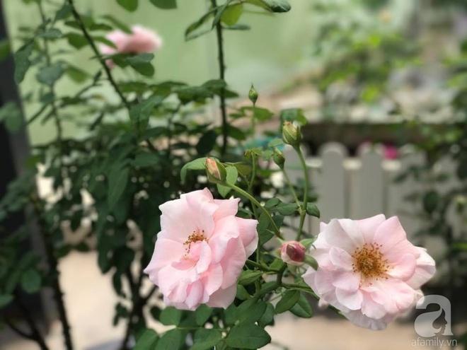 Khu vườn 400m² có những gốc hồng hàng chục năm tuổi đẹp mê hồn ở Hà Nội - Ảnh 13.