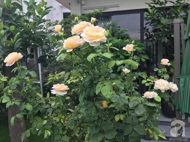 Khu vườn 400m² có những gốc hồng hàng chục năm tuổi đẹp mê hồn ở Hà Nội - Ảnh 14.