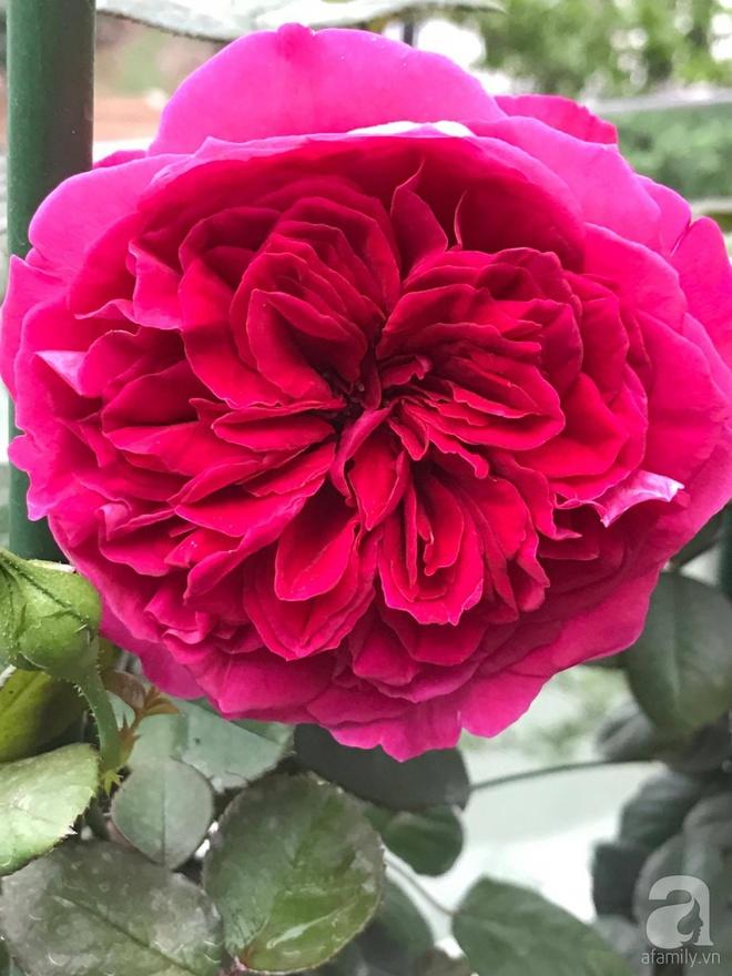 Khu vườn 400m² có những gốc hồng hàng chục năm tuổi đẹp mê hồn ở Hà Nội - Ảnh 15.
