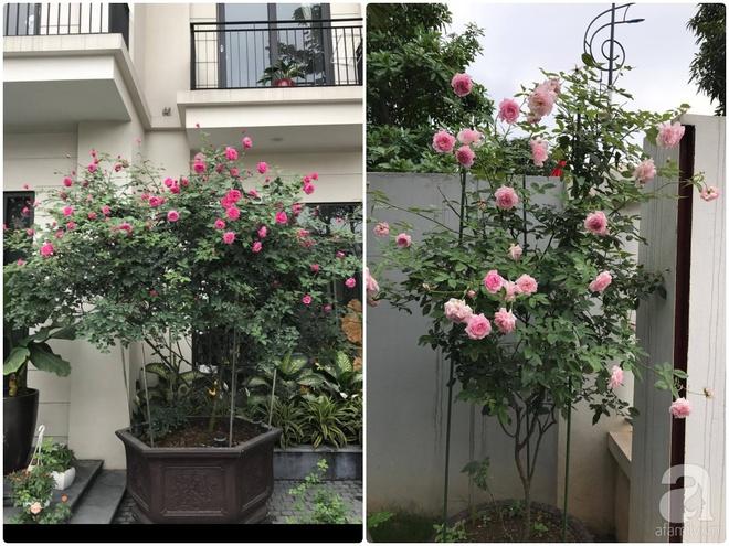 Khu vườn 400m² có những gốc hồng hàng chục năm tuổi đẹp mê hồn ở Hà Nội - Ảnh 16.