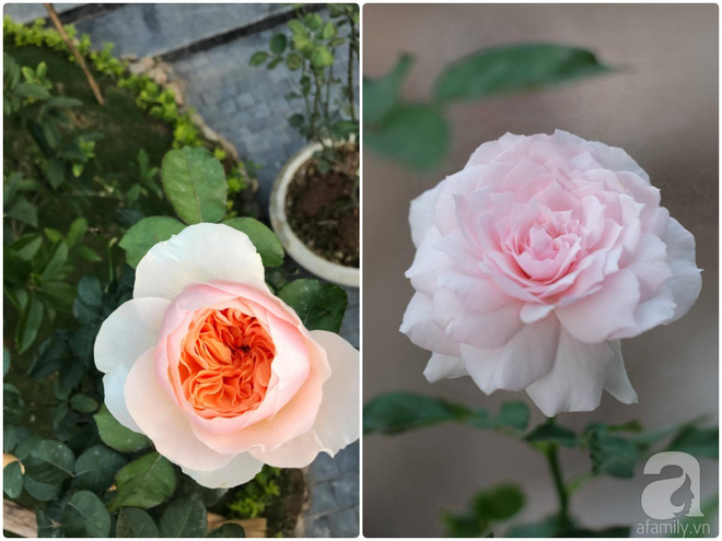 Khu vườn 400m² có những gốc hồng hàng chục năm tuổi đẹp mê hồn ở Hà Nội - Ảnh 17.