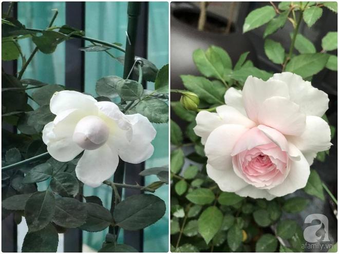 Khu vườn 400m² có những gốc hồng hàng chục năm tuổi đẹp mê hồn ở Hà Nội - Ảnh 18.