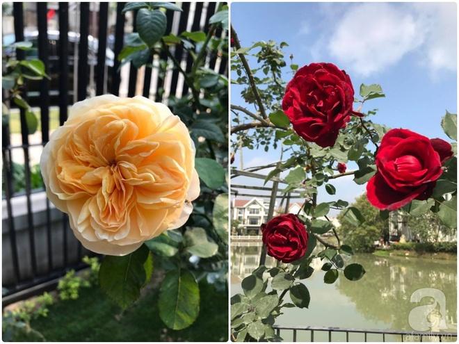 Khu vườn 400m² có những gốc hồng hàng chục năm tuổi đẹp mê hồn ở Hà Nội - Ảnh 19.