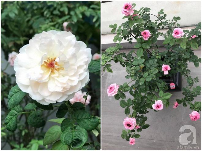 Khu vườn 400m² có những gốc hồng hàng chục năm tuổi đẹp mê hồn ở Hà Nội - Ảnh 21.