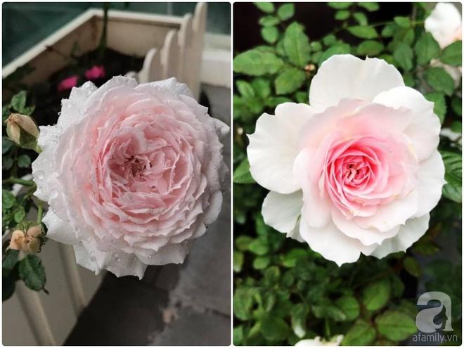 Khu vườn 400m² có những gốc hồng hàng chục năm tuổi đẹp mê hồn ở Hà Nội - Ảnh 22.