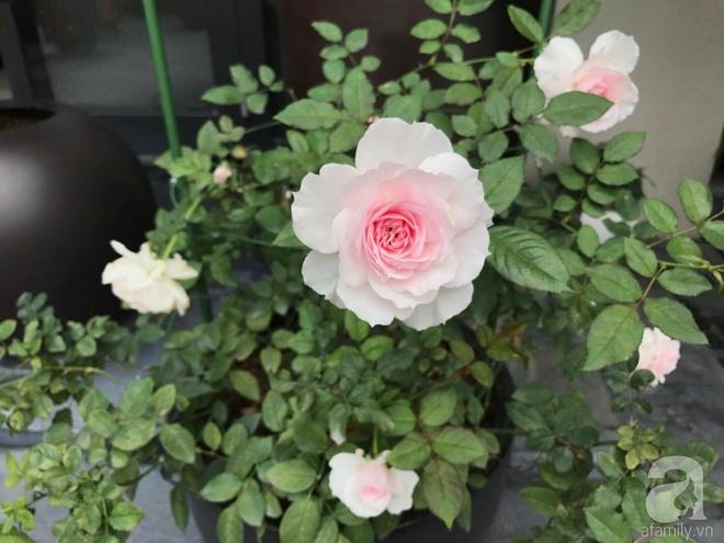 Khu vườn 400m² có những gốc hồng hàng chục năm tuổi đẹp mê hồn ở Hà Nội - Ảnh 23.