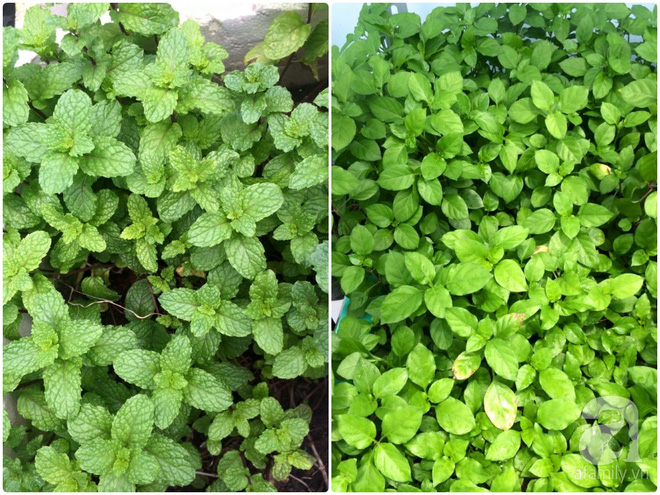 Hàng ngày tiếp xúc với bệnh nhân ung thư, nữ dược sĩ quyết trồng 100 chậu rau sạch xanh trên sân thượng cho gia đình - Ảnh 26.