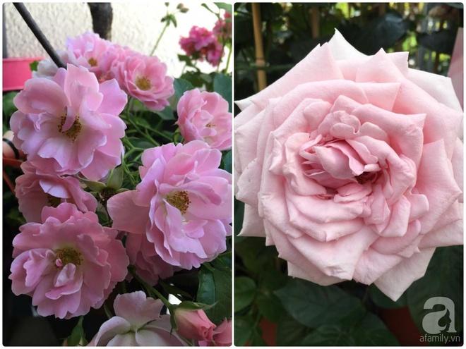 Bất ngờ với ban công chưa đầy 2m² nhưng dâu tây sai trĩu cành, hoa tươi thơm ngát - Ảnh 3.