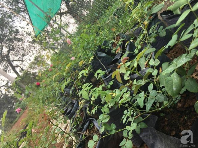 Khu vườn hoa hồng 2000 gốc gây thương nhớ cho bất cứ ai của chàng trai 9x ở Đồng Nai - Ảnh 5.