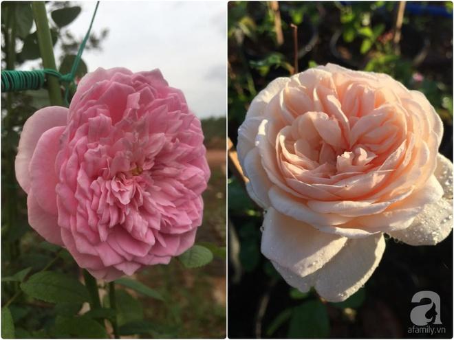 Khu vườn hoa hồng 2000 gốc gây thương nhớ cho bất cứ ai của chàng trai 9x ở Đồng Nai - Ảnh 17.