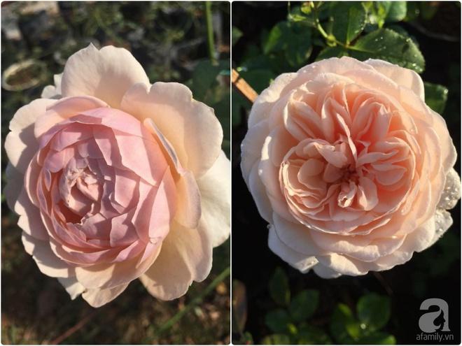 Khu vườn hoa hồng 2000 gốc gây thương nhớ cho bất cứ ai của chàng trai 9x ở Đồng Nai - Ảnh 18.