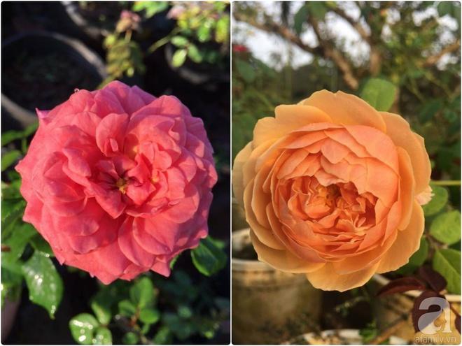 Khu vườn hoa hồng 2000 gốc gây thương nhớ cho bất cứ ai của chàng trai 9x ở Đồng Nai - Ảnh 20.