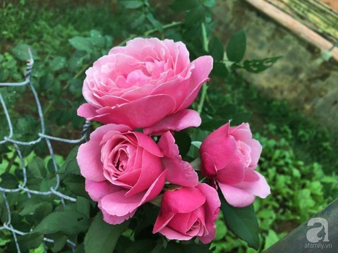 Khu vườn hoa hồng 2000 gốc gây thương nhớ cho bất cứ ai của chàng trai 9x ở Đồng Nai - Ảnh 29.