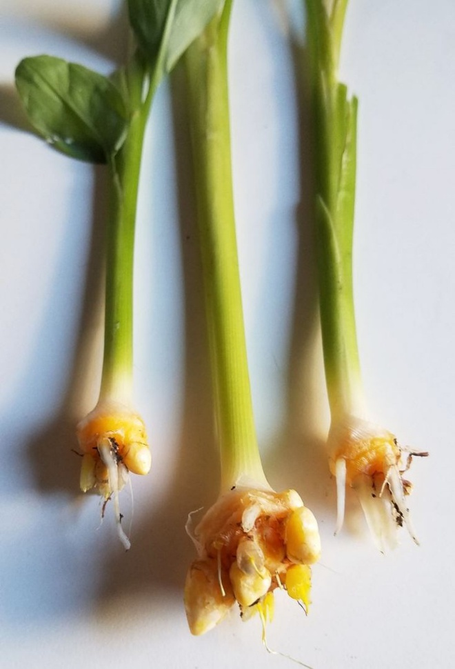 Nếu đang có một khoảnh đất nhỏ, hãy trồng gừng, nghệ để vừa làm đẹp nhà vừa có nguồn thực phẩm sạch - Ảnh 3.