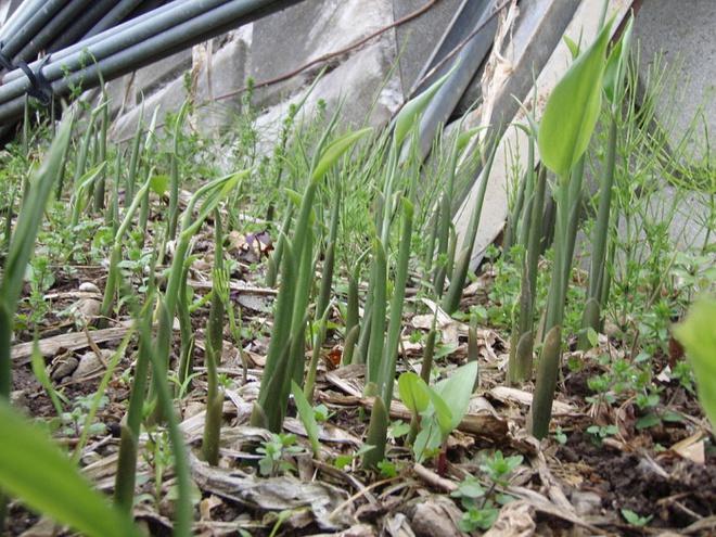 Nếu đang có một khoảnh đất nhỏ, hãy trồng gừng, nghệ để vừa làm đẹp nhà vừa có nguồn thực phẩm sạch - Ảnh 5.