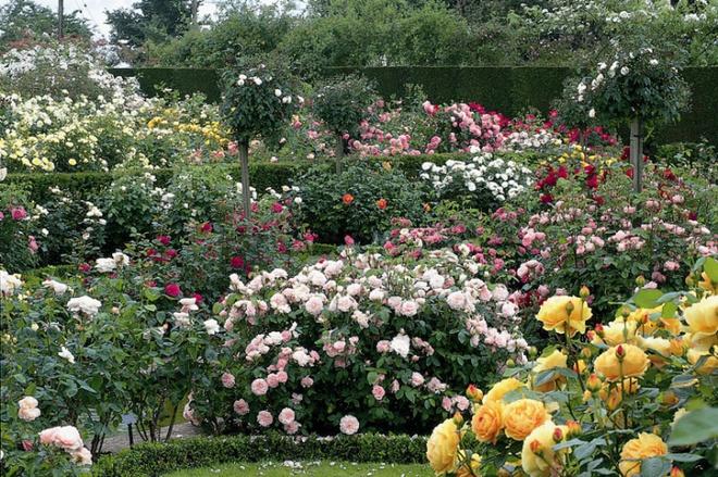 Khu vườn hoa hồng đẹp hơn cổ tích của người đàn ông được phong danh là Vĩ nhân hoa hồng của thế giới - Ảnh 6.