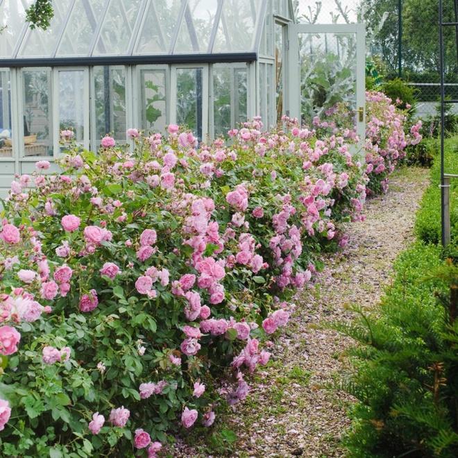 Khu vườn hoa hồng đẹp hơn cổ tích của người đàn ông được phong danh là Vĩ nhân hoa hồng của thế giới - Ảnh 12.